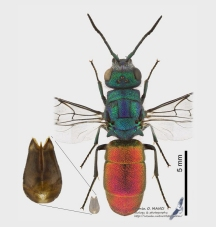Chrysura refulgens (Spinola, 1806)