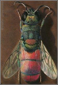 Chrysis scutellaris - © W.Linsenmaier