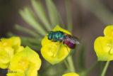 Chrysura rufiventris (Hymenoptera Chrysididae)