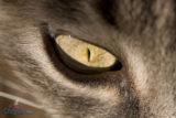 Occhio di gatta