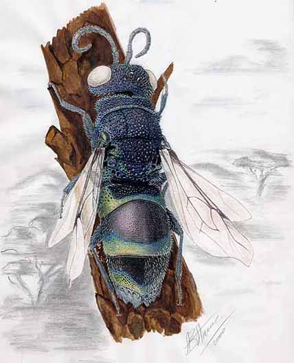 Chrysis fasciata zetterstedti