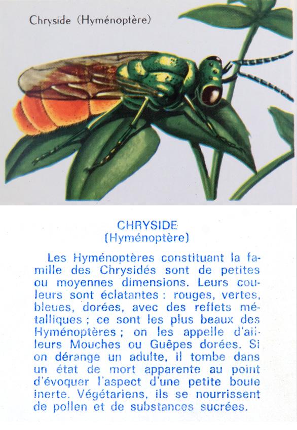 Chryside (Hyménoptère)