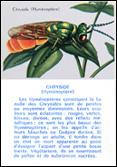 Chryside (Hyménoptère), 1963