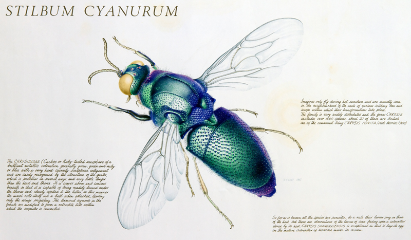 W. H. Gilby, Stilbum cyanurum - Cuckoo wasp