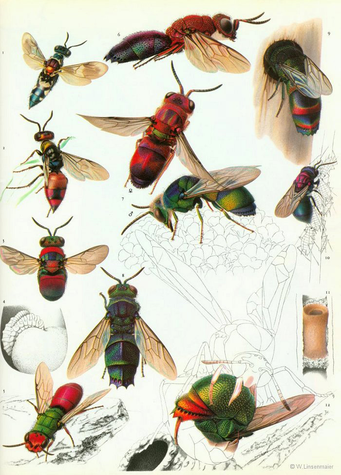 W. Linsenmaier - Chrysis scutellaris