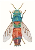 "Rob Tuckerman: ""Chrysid wasp"""