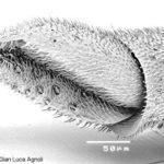 Morfologia dei Crisidi: flagellum