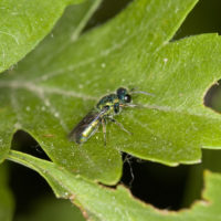 Trichrysis cyanea