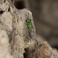 Chrysidea pumila