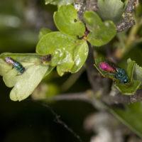 Chrysis pyrrhina & Chrysura rufiventris