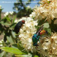 Stilbum cyanurum by Alexandre Anichtchenko - http://www.chrysididae.narod.ru Spain, 2005. -. on Euonymus japonicus (Celastraceae).