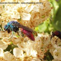 Chrysura refulgens by Alexandre Anichtchenko - http://www.chrysididae.narod.ru Spain, 2005. -. on Euonymus japonicus (Celastraceae).