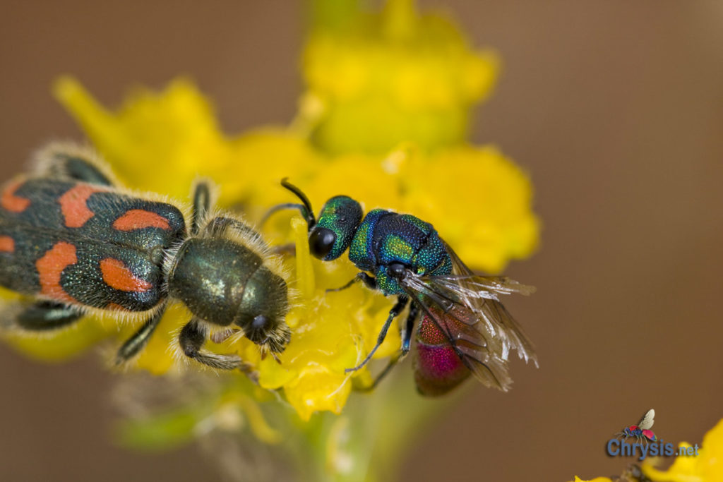 Chrysis perezi Mocsáry, 1889 and Trichodes ammios (F.) (Coleoptera, Cleridae)
