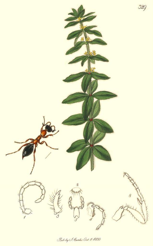 """""""Methoca [sic] ichneumonides"""" by J. Curtis, 1824 – British Entomology"""