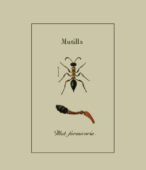 """""""Mutilla formicaria"""" by Jurine L., 1807 – Nouvelle méthode de classer les hyménoptères et les diptères. Avec figures. J.J. Paschoud, Genève."""