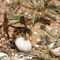 Rhodanthidium sticticum (F.) (Hymenoptera, Megachilidae)