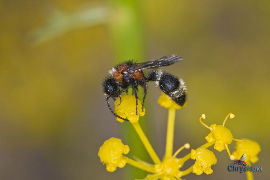 Stenomutilla collaris (Fabricius, 1787), m (Hymenoptera Mutillidae)
