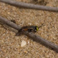 Tachysphex sp. (?) (Hymenoptera, Sphecidae)