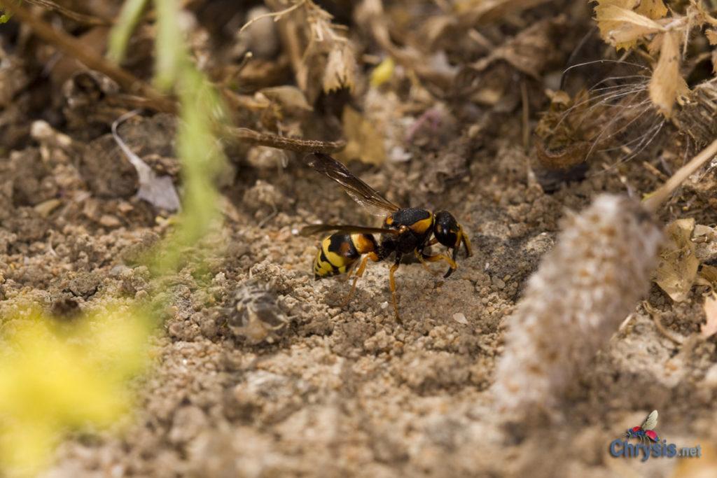 Tropidodynerus flavus (Lepeletier 1841) (Hymenoptera Vespidae Eumeninae)