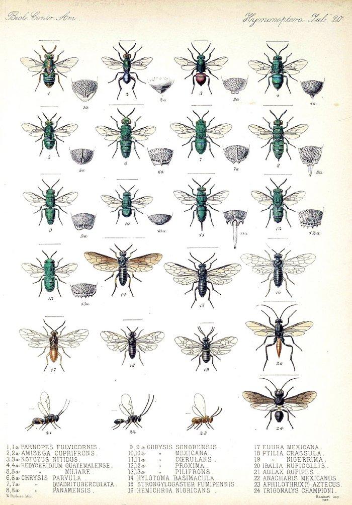Godman et al., 1879, Biologia Centrali-Americana