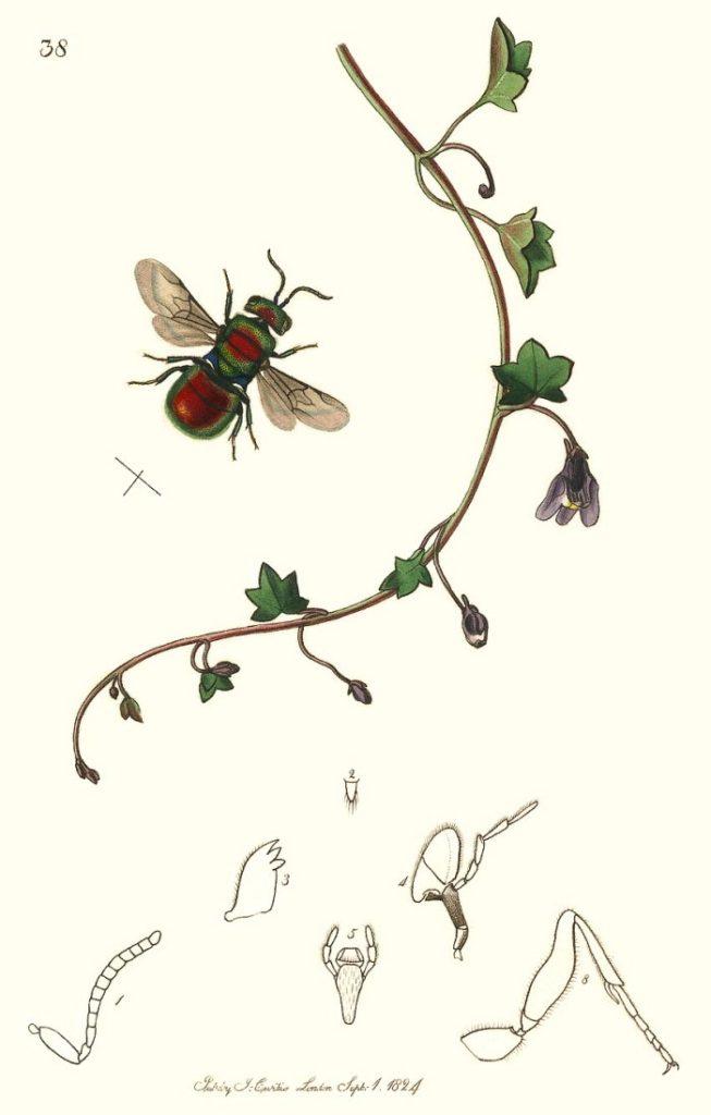 J. Curtis, 1824 - British Entomology
