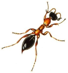 Methocha articulata. Da: Curtis J., 1824, British Entomology.