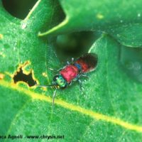 Chrysura dichroa attracted by a mixture of water+sugar+alcohol spayed on the leaves, Italy, Emilia-Romagna, Oriano (PR), summer 2001, by Gian Luca Agnoli