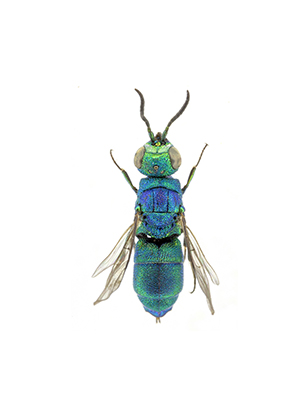 Genus Chrysidea Bischoff, 1913